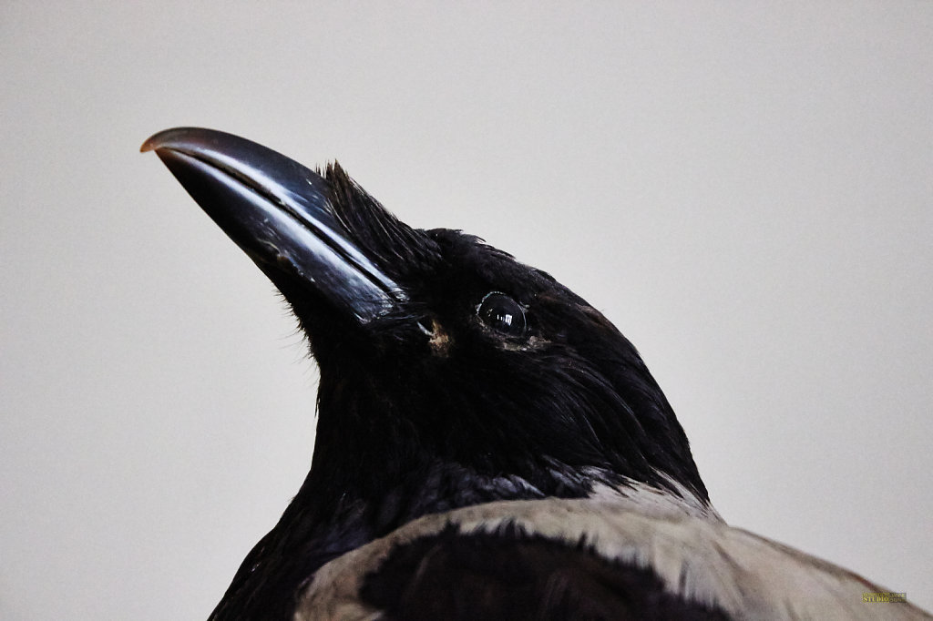 Crow Stuffed