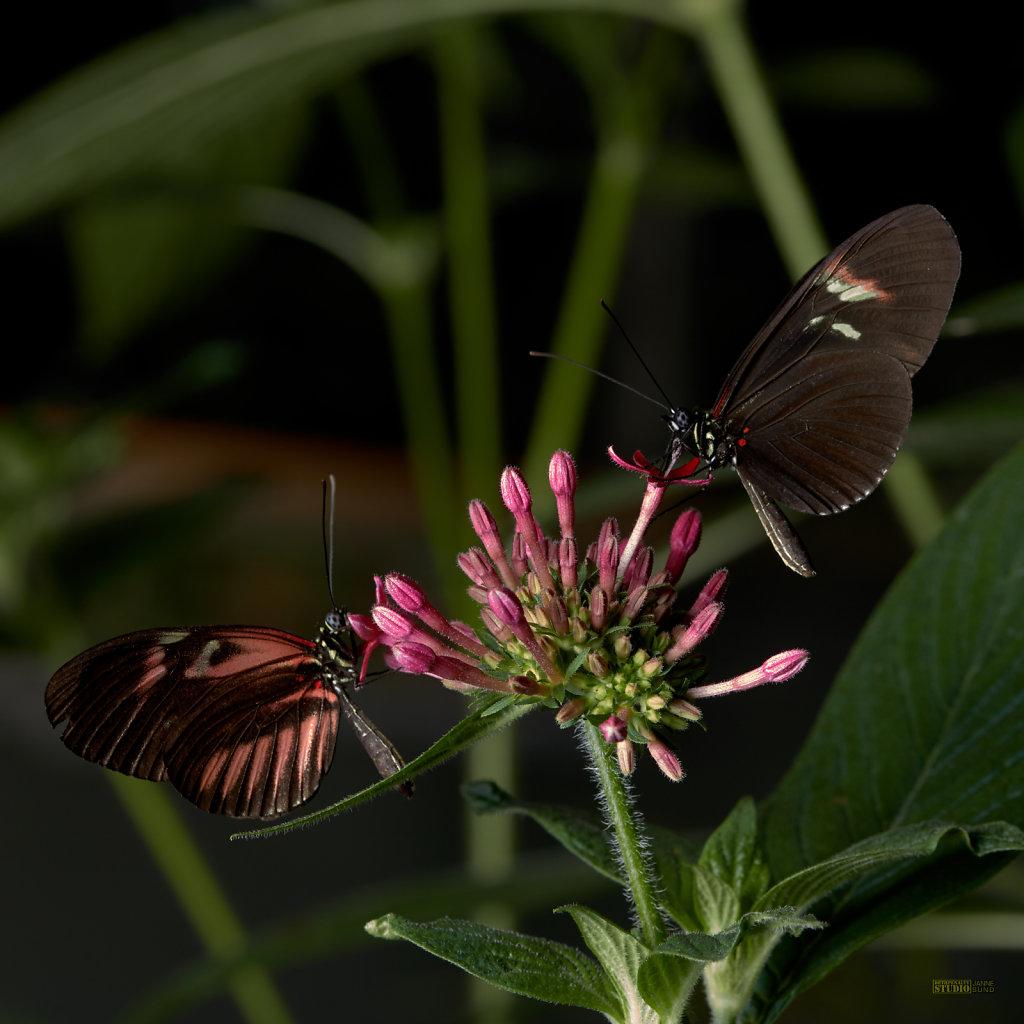 Butterflies-Sharing-a-Meal.jpg
