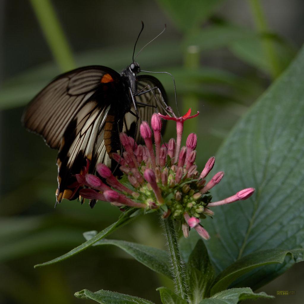 Butterfly Profile