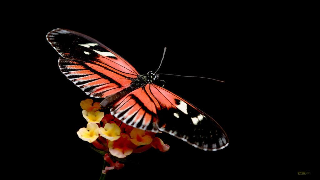 Butterfly - Solo